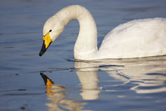 Free Whooper Swan Stock Photo - 23342060