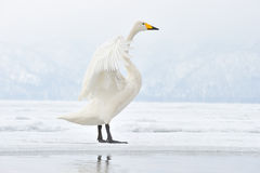 Whooper Swan. Flapping his wings Stock Images