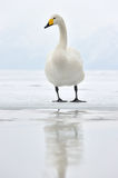 Whooper Swan. Standing on ice edge Royalty Free Stock Photography