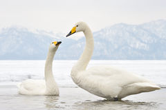 Whooper Swan. Two Whooper Swans at courtship Stock Image