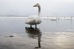 Whooper Swan. S standing in water with sunset Royalty Free Stock Photo