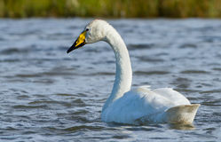 Whooper swan Royalty Free Stock Photos