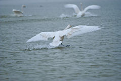Whooper swan. Big Swan is a migratory bird, there is no subspecific differentiation, spring and autumn in northern China, Russia Siberian breeding sites and Royalty Free Stock Photo