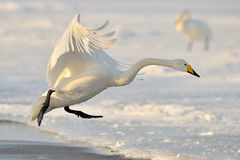 Whooper Swan Stock Photos
