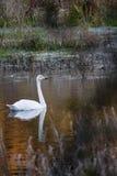 Whooper swan. Or cygnus cygnus Royalty Free Stock Photography