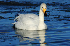 Whooper Swan. A Whooper swan on an ice covered pond at the Wildfowl and Wetland Trust Reserve at Caerlaverock in South West Scotland, UK. These migratory swans royalty free stock images