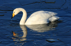 Whooper Swan stock photo