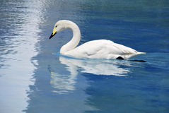 Whooper swan aquatic bird Stock Photo