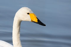 Whooper swan. Whooper swan, close up of head Stock Photos