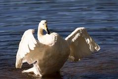 Whooper swan Stock Image