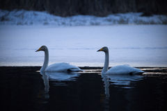 Whooper swan couple at night Royalty Free Stock Image