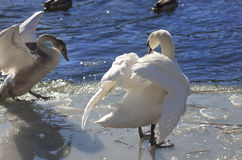 Whooper swan (Cygnus Cycnus) couple  together on the ice of a fr Royalty Free Stock Photo