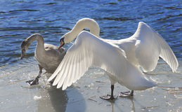 Whooper swan (Cygnus Cycnus) couple  together on the ice of a fr Royalty Free Stock Images