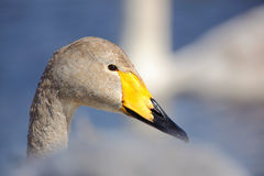 Whooper Swan, Cygnus cygnus, bird portrait with open bill, Lake Kusharo, other blurred swan in the background, winter scene with s Stock Photography