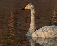 The whooper swan, Cygnus cygnus Royalty Free Stock Image