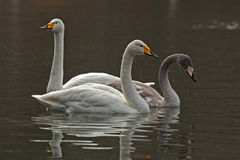 The whooper swan, Cygnus cygnus Stock Image