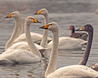 The whooper swan, Cygnus cygnus Stock Photo