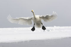 Whooper swan, Cygnus cygnus Royalty Free Stock Photography
