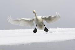 Whooper swan, Cygnus cygnus Royalty Free Stock Photography