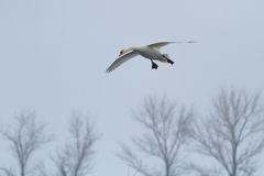 Whooper Swan (Cygnus cygnus) in flight Stock Images