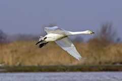 A Whooper Swan (Cygnus cygnus) in flight. Stock Photography