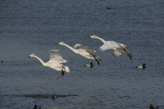 Whooper swan, Cygnus cygnus Stock Photo