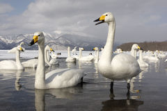 Whooper swan, Cygnus cygnus Royalty Free Stock Photo