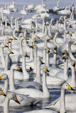 Whooper swan, Cygnus cygnus Royalty Free Stock Photos