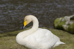 Whooper Swan, Cygnus cygnus Royalty Free Stock Images