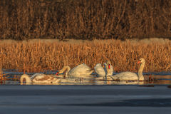 Whooper swan (cygnus cygnus) on lake Stock Image