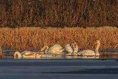 Whooper swan (cygnus cygnus) on lake Stock Image