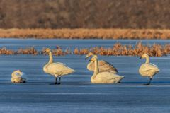 Whooper Swan (Cygnus cygnus) on lake Royalty Free Stock Photography