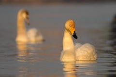 Whooper swan,  Cygnus cygnus on the lake Royalty Free Stock Photos