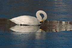 The whooper swan, Cygnus cygnus Royalty Free Stock Photo