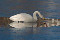 The whooper swan, Cygnus cygnus Royalty Free Stock Photography