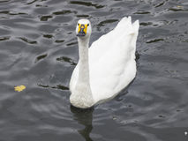 Whooper swan or Cygnus Cygnus, in pond closeup portrait, selective focus, shallow DOF Stock Images