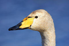 Whooper Swan, Cygnus cygnus, portrait of bird with black and yellow beak, Lake Hornboga, Sweden Stock Photo