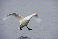 Whooper swan, Cygnus cygnus Stock Photo