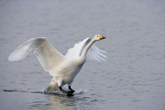 Whooper swan, Cygnus cygnus Stock Photography