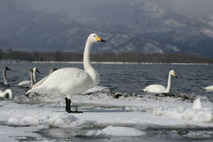 Whooper swan, Cygnus cygnus Stock Photos