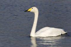 Whooper swan, Cygnus cygnus Stock Image
