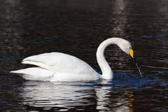 Whooper swan. (Cygnus cygnus) splashing water stock photos