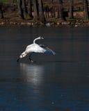 The whooper swan, Cygnus cygnus Royalty Free Stock Image