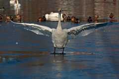The whooper swan, Cygnus cygnus Royalty Free Stock Images