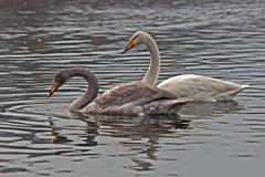 Whooper swan, Cygnus cygnus swiming on the lake. The Whooper swan, Cygnus cygnus swiming on lake in Sweden royalty free stock photo