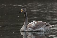 Whooper swan, Cygnus cygnus swiming on the lake. The Whooper swan, Cygnus cygnus swiming on lake in Sweden royalty free stock photography
