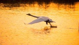 Whooper swan, Cygnus cygnus, take-off Royalty Free Stock Photos