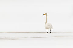 Whooper swan. (Cygnus cygnus)  on thin spring ice in white landscape Stock Image