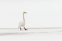 Whooper swan. (Cygnus cygnus) treading carefully on thin spring ice in white landscape Stock Photo
