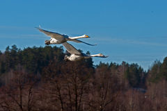 The whooper swan, Cygnus cygnus Royalty Free Stock Images